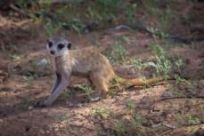 Erdmännchen sind im Kgalagadi seltener zu sehen als Löwen. Das junge Exemplar sucht gerade seine Mama.