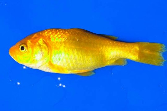 yellow goldfish-365083_640.