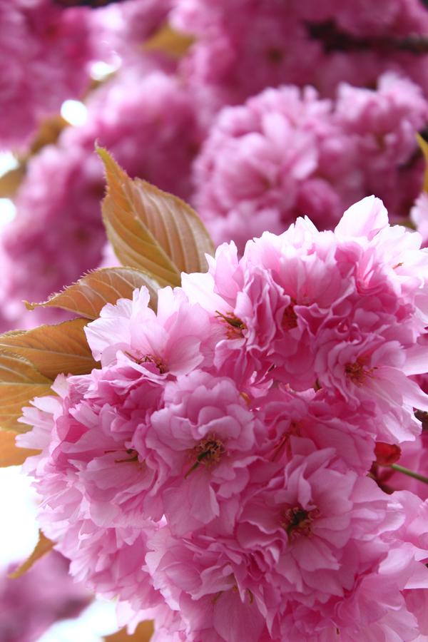 Kirschblüte, Sakura