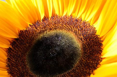 Fotografie Sonnenblume