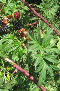 blackberries_leaves1