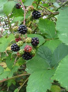 blackberries_leaves2