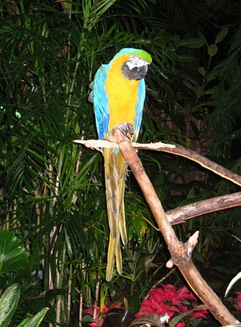 Art, the gold and blue Macaw