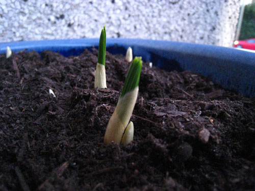Crocuses sprouting in January (before the snow)