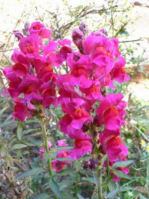 Photos de fleurs roses