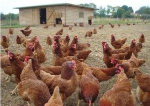 poules saclay
