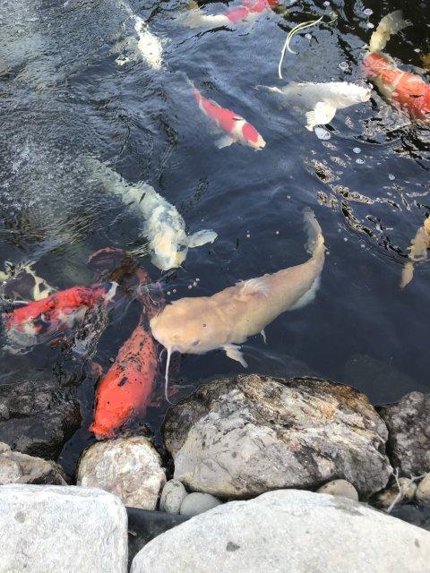 free albino channel catfish