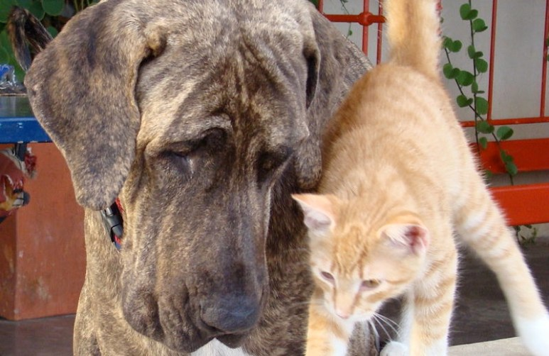 A Brazilian Mastiff, like one of the dogs at the wedding. Not as scary as they first look