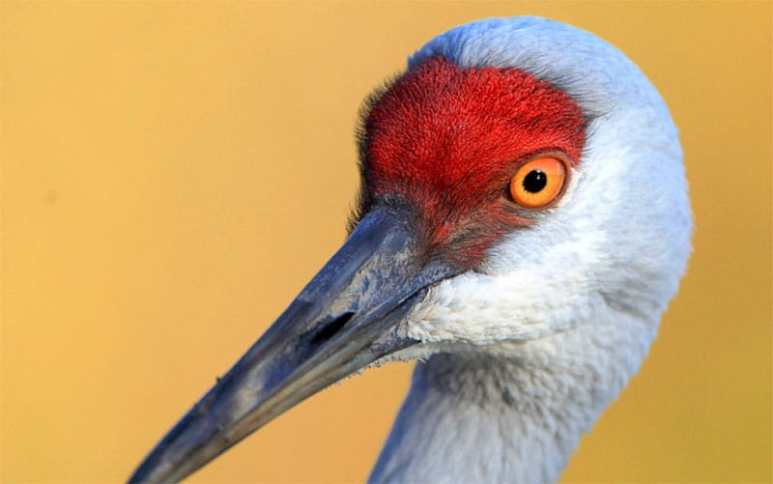 Could the Mothman be a sandhill crane