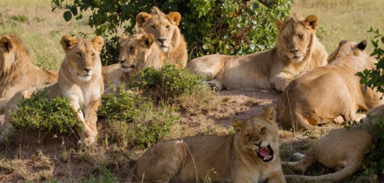 Wild Wives of Africa