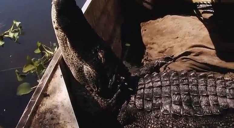 The alligator Grande Noir
