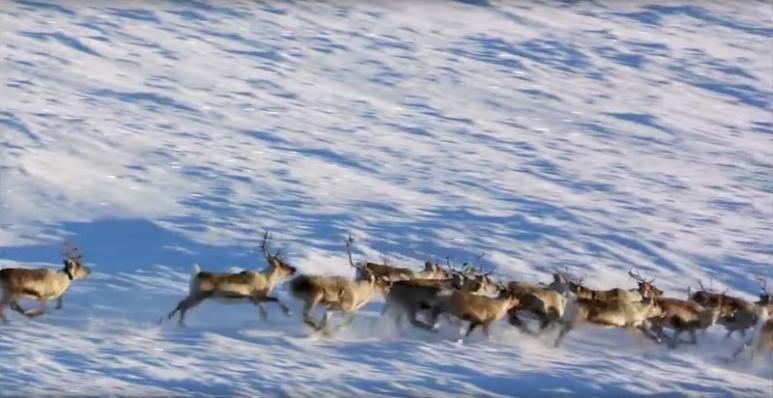 A herd of reindeer seen from the air in footage from The Bachelor