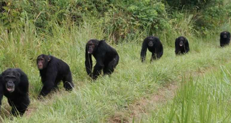 A line of chimpanzees 'on patrol'