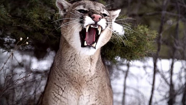 Jake Herak corners this mountain lion and the outcome is quite frightening, as his dogs set upon this beautiful cat. Pic credit: History