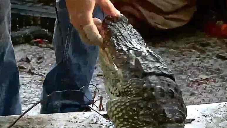 In a flash, this nearly dead gator snapped and bit Ronnie Adams and it was gnarly! Pic credit: History.
