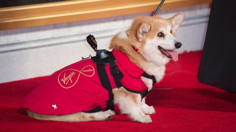 A corgi attends the premiere of Netflix's The Crown