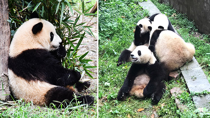 Que-ver-Chengdu-pandas-gigantes