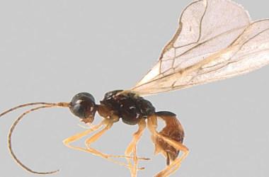 Alpi Marittime, Mercantour, imenottero, insetti, inventario, scoperta, biodiversità