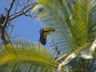 mangrove-black-hawk-buteogallus-subtilis-3-26-2009-7-46-41-am