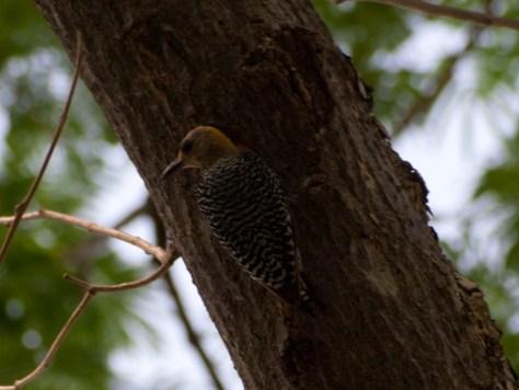 hoffmanns-woodpecker-melanerpes-hoffmannii-05182009-092052