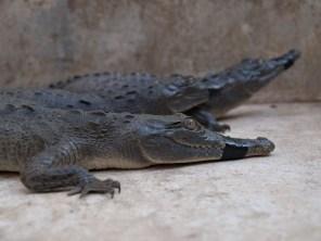 holding-crocodiles-crocodilia-acutus-04292009-080353