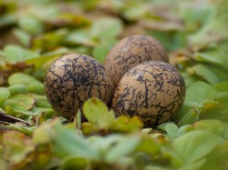 Figure 2 - Jacana nest with 3 eggs