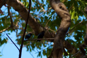 long-tailed-manakin-chiroxiphia-linearis-04282009-081747