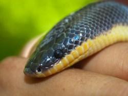 loxocemus-bicolor-sunbeam-boa-05222009-094159