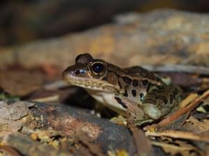 ranidae-lithobates-forreri-04302009-222949