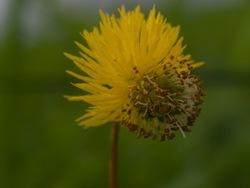 Fabaceae - Neptunia prostrata (natans) - Flower - 06.29.2009 - 08.08.12