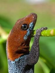 Yellow-headed Gecko - Gonatodes albogularis - 06.14.2009 - 13.44.56