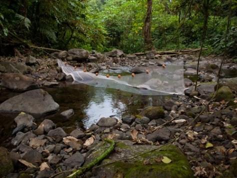 Litter release - Rio San Lorencito Upstream 4-5-2009 6-45-31 AM
