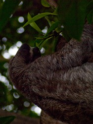 Three-toed sloth - 04.20.2009 - 16.11.11