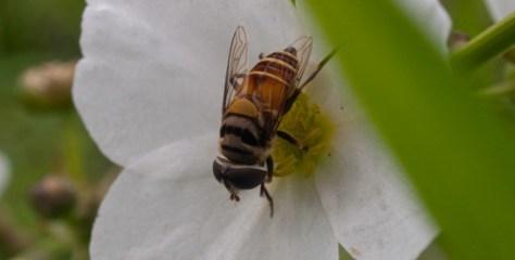 Alismataceae - Echinodorus paniculatus with flies - 06.11.2009 - 10.11.19