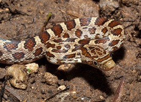 Colubridae - Senticolis (Elaphe) triaspis - 06.26.2010 - 08.21.00