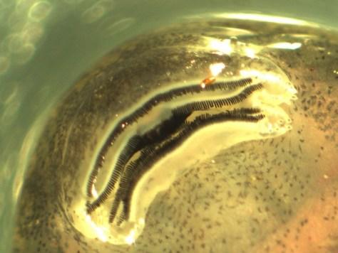 Bufonidae - Incilius (Bufo) luetkenii - tadpole mouth - 07.04.2010 - 14.46.32