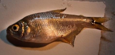 Characidae - Astyanax aeneus - 06.26.2010 - 19.38.54