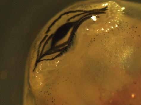 Hylidae - Smilisca baudinii - tadpole mouth - 07.04.2010 - 15.34.58