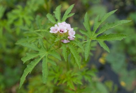 Malavaceae - Malachra alceifolia - 07.16.2010 - 07.22.25