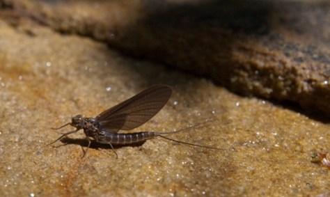 Emerging stone fly - 04.27.2010 - 10.31.34