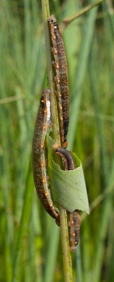 Thalia skipper larvae - Hesperiidae - 09.16.2010 - 10.35.22