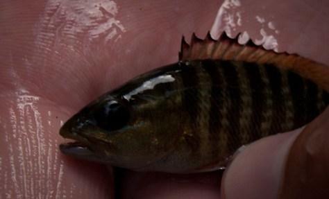 Lutijanus novemfasciatus - black snapper or Pacific cubera snapper - 02.02.2010 - 14.11.56