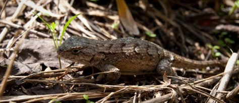 Northern Fence Lizard - Sceloporus undulatus - 09.25.2011 - 13.14.05