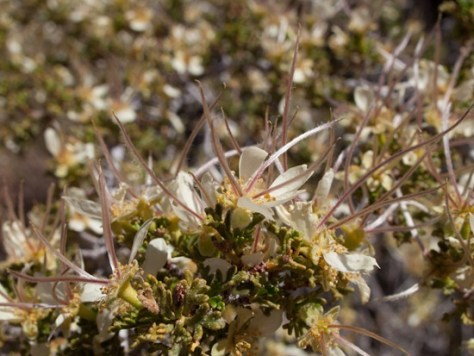 Apache plume - Fullugia paradoxa - Rosaceae - 05.03.2012 - 18.19.33