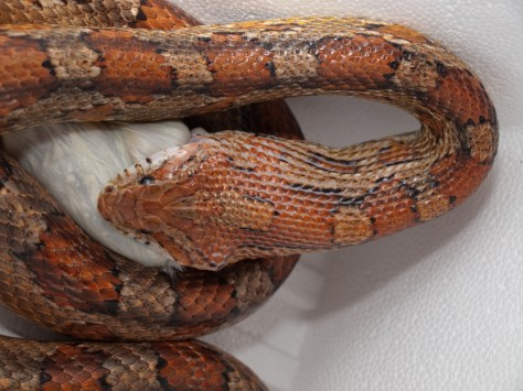 Corn snakes and Boa constrictor feeding - 02.18.2010 - 19.11.25