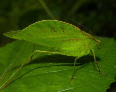 Leaf Katydid - 20130621 - 3