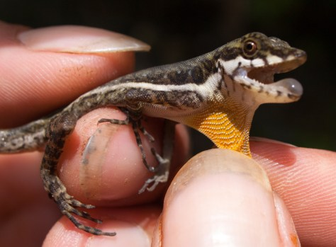 Stream anole - Norops oxylophus - 20130618 - 1