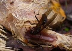 Carnivorous wasps