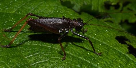 Tettigonidae katydids - 20130705 - 4
