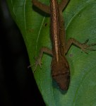 Norops polylepis - Sleeping ground anole - 20130714 - 6